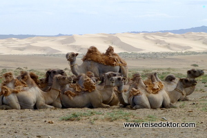 Kamele in der Mongolei