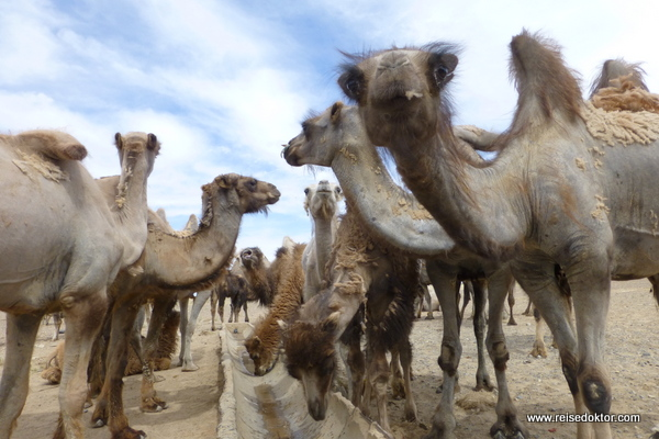 Kamelherde in der Mongolei