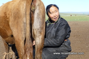 Kühe in der Mongolei