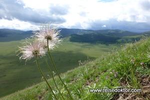Mongolei - Blumen