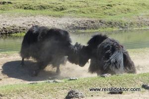 Yaks in der Mongolei