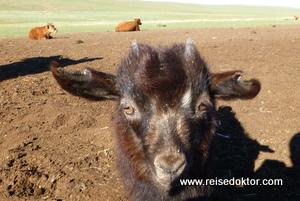 Ziege in der Mongolei