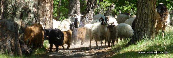Ziegenherde in der Mongolei
