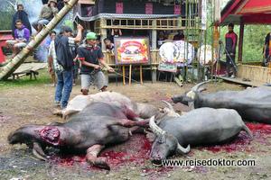 Begräbnis Büffelschlachtung