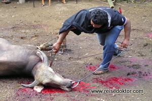 Büffelschlachtung