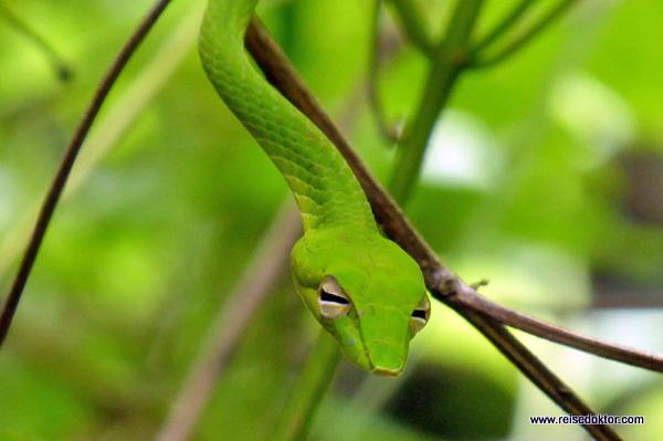 Grüne Peitschennatter