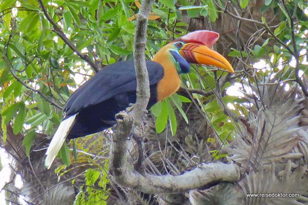 Hornvogel Sulawesi