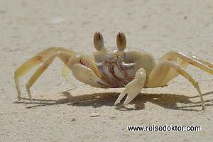 Krabbe Sulawesi