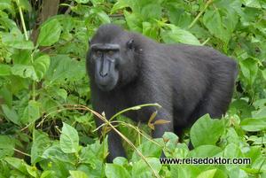 Makake im Tangkoko Nationalpark