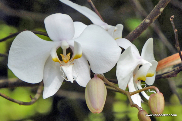 Orchidee Sulawesi