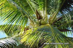 Palme auf Sulawesi