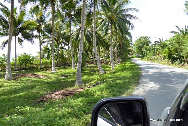 Palmen Sulawesi