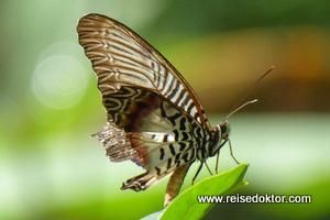 Schmetterling Sulaswesi
