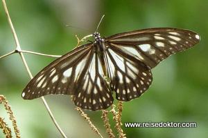 Schmetterling auf Togian Island