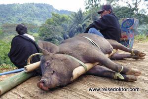 Schwein Sulawesi