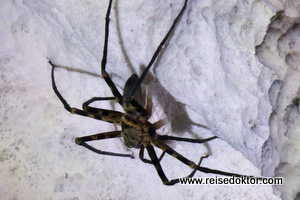 Spinne in Sulawesi