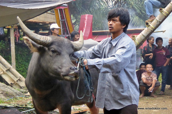 Wasserbüffel Sulawesi