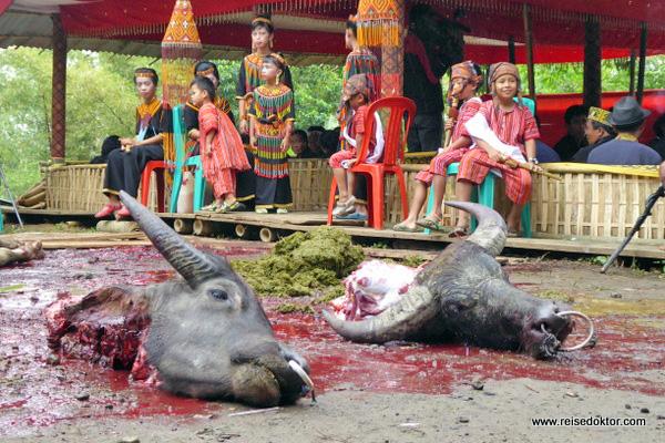Wasserbüffel Toraja Land