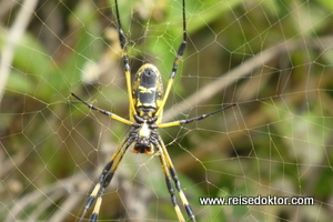 Wespenspinne Kap Verde