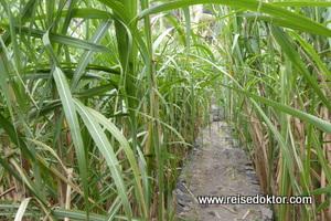 Zuckerrohr auf Kap Verde