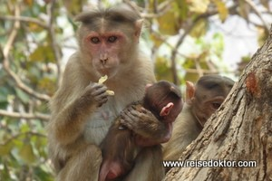 Affen auf der Elefanteninsel