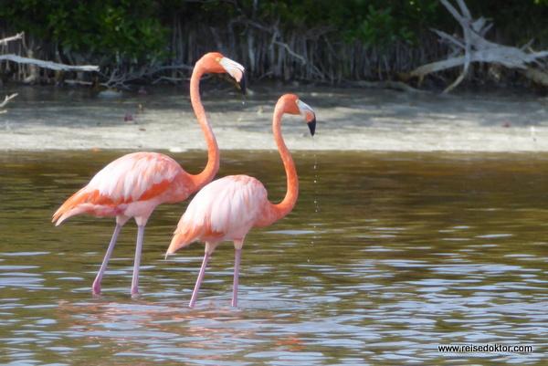 Flamingos in Mexiko