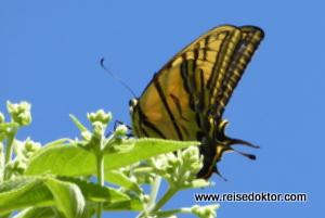 Schmetterling in Mexiko