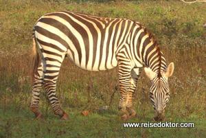 Zebra Cayo Saetia