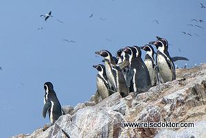 Humboldt Pinguine Peru