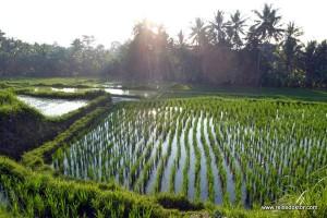 Bali: Spaziergang in den Reisfeldern um Ubud