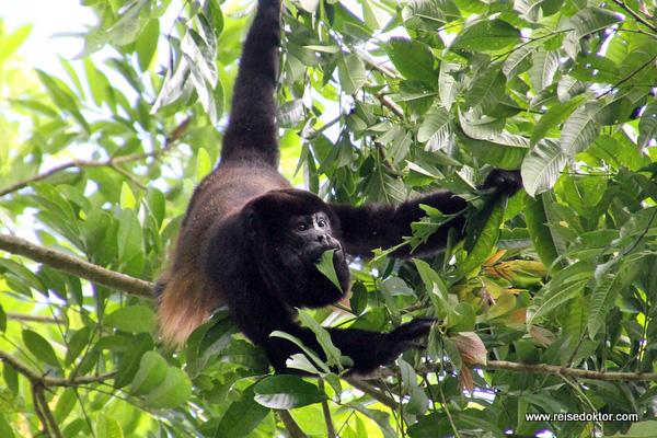 Brüllaffe Costa Rica