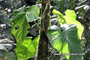 Pflanzen Costa Rica