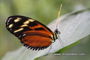 Schmetterling in Costa Rica