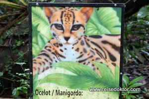 Ozelot Costa Rica