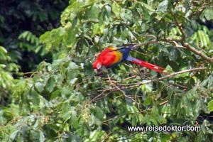 Papagei Nicuesa Lodge