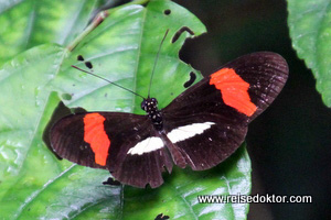 Schmetterling Nicuesa Lodge