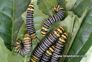 Schmetterling Raupen