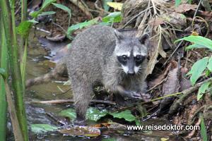 Waschbär Costa Rica
