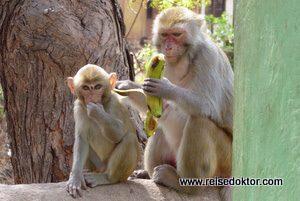 Affen in Myanmar