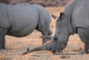 Botswana Nashorn