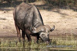 Büffel in Botswana
