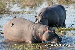Flusspferd im Chobe