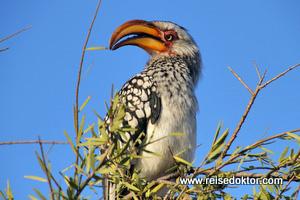 Gelbschnabeltoko Botswana