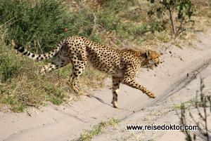Gepard Botswana