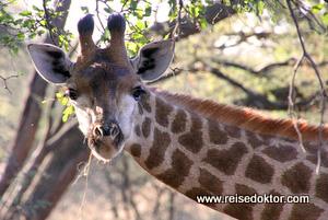 Giraffe Botswana