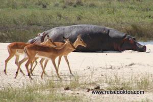 Impala & Flusspferde