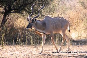 Kudu Botswana