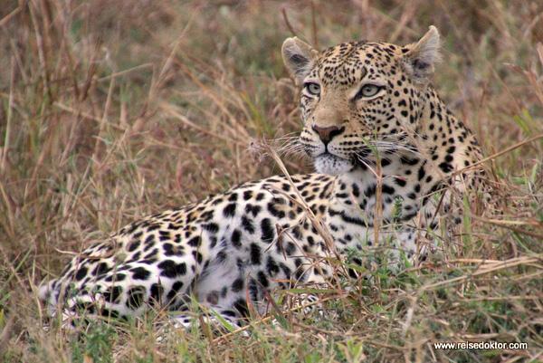 Leopard Savuti