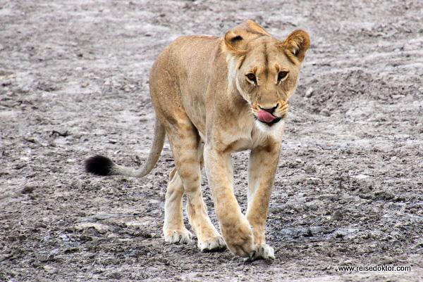 Löwe Savuti