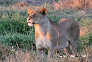 Löwin im Chobe Nationalpark